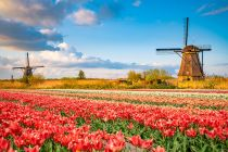 landscape with windmills and dutch tulips
