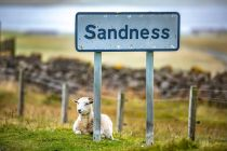 Sheep at Sandness